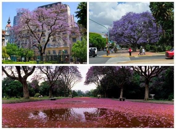 Jacarandás em Buenos Aires